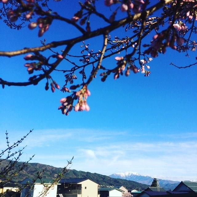 桜っていうのは、風や雨、気温のせいで散らずに、自分の意思で花びらを落とすんだということを知った時、えらく独立した花だなあ、何かのせいにしてないなぁ!!と感心したとともに、春生まれのわたしは随分と人のせいにするようになっちまってるなと感じた。さくら、今週末が見頃です。