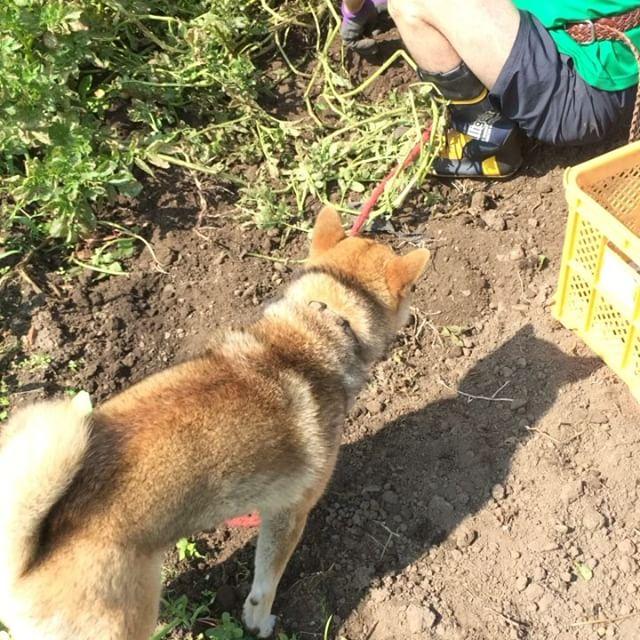 芋掘りステージ