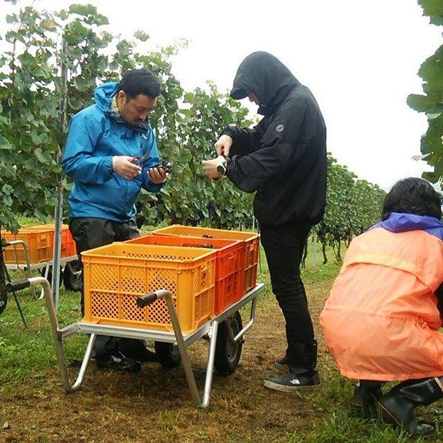 今日、明日とワイン用のぶどう収穫大作戦が決行されております!明日の朝も5時からやるそうな。ボランティア募集だそうな!(遅すぎる募集)