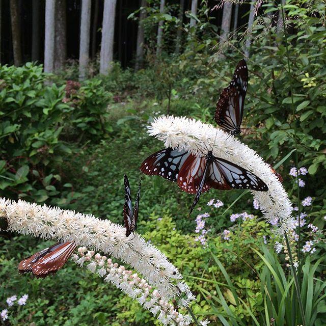 庭に見たことない蝶がうろうろ…