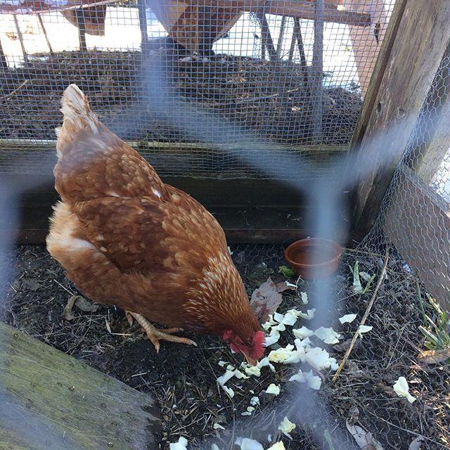 一時預かり鳥、ボリスブラウンのチキ子が可愛くて仕方ない。この冬なのに毎日一個卵産んでくれる。すぐ脱走する、顔見ると寄ってくる。