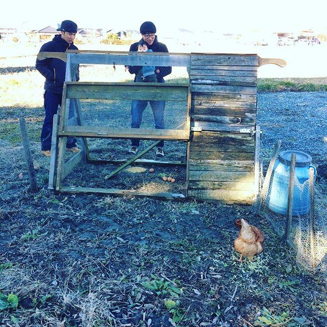 チキントラクターがプチマルシェからやってきた。(一時預かり)早速卵を産んだ。