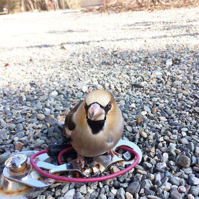 今朝、可愛い鳥がじっと動かずちょこんといた。かなり近寄っても写真撮っても逃げず。りんごあげよーとおもって持ってきた瞬間に羽ばたいていったけど、可愛かったな