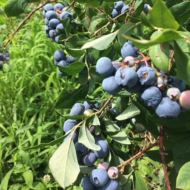無農薬ブルーベリー広大な畑にたわわ、たわわ。お腹いっぱい食べれる幸せたるや。長野に住んでてよかったと思った瞬間でした。
