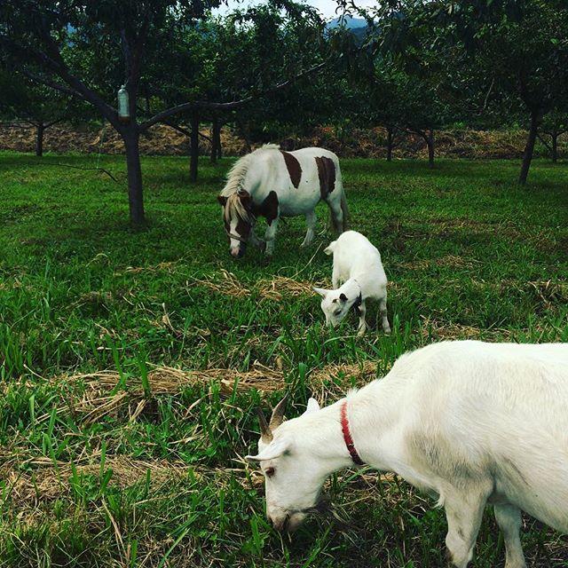 この桃園、馬とヤギと羊が草刈りしてました。フンは肥料にもなるし、最高か。