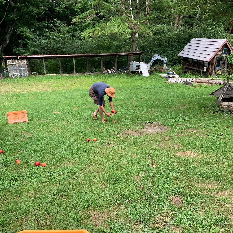 ドライリンゴ、今季の分が開始されました。去年はシナノスイートからのリンゴでしたが、今年は夏あかり、シナノリップ、サンつがるなどがクランクインしてます。まずは、ヤギさん行きリンゴををぶちまけるところからスタートです。今年もよろしくお願いします