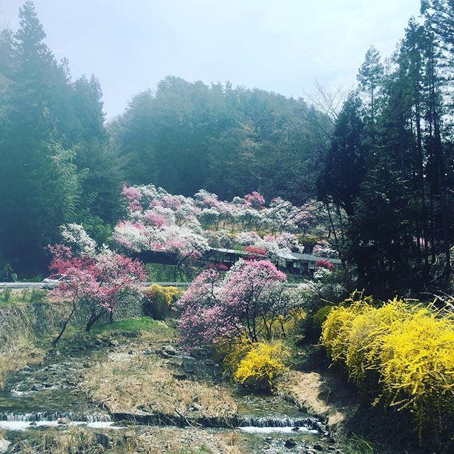 キャメラのレンズが汚くてな。桜も綺麗だったけど個人的に花桃がアツイ。てことで初めて行けた中沢の花桃。ここに着くまでにも集落全体が花桃づいていてほんとキレイ。どこでも、でんわ「はい、赤石商店です」のおじさんもオススメの場所です。時期過ぎて桜見に来る外国人にオススメしよう。